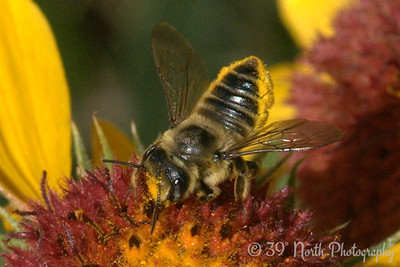 Bee on a blanket flower