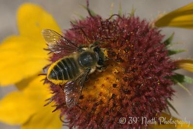 Bee on a blanket flower