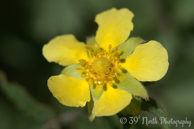 A Cinquefoil of some sort