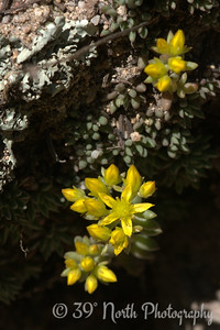 Yellow stonecrop living up to its name