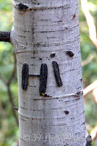 Friendly aspen tree