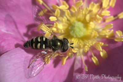Hoverfly on a wild rose