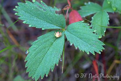 Wild strawberry leaves