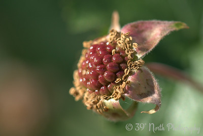 Boulder raspberry (not quite edible by humans, but elk love 'em)