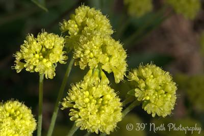Sulfurflower