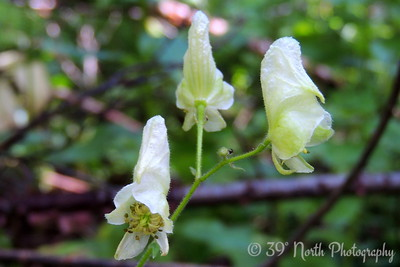 White Monkshood
