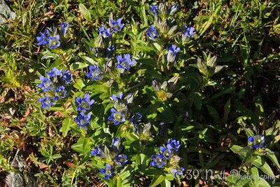 Lots of Mountain Gentians