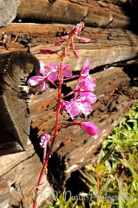 Fireweed inside old cabin