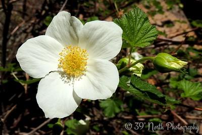 Boulder Raspberry flower