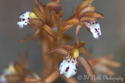 Spotted Coralroot Orchid
