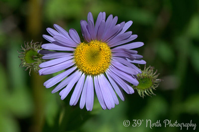 This is some aster or another. Or maybe a daisy. I'm not sure how to tell them all apart.