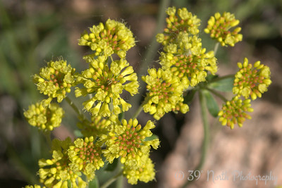 Sulphurflower