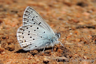 Arctic Blue Butterfly