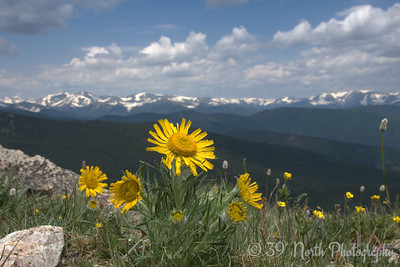 Alpine Sunflower