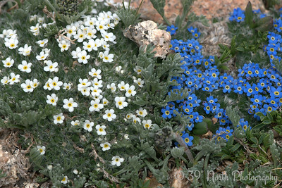 Alpine Forget Me Not