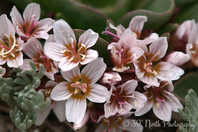 Alpine Spring Beauty