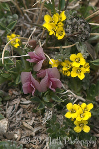 Dwarf Clover and Alpine Wallflower