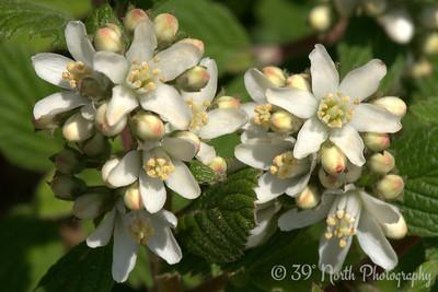 Waxflowers