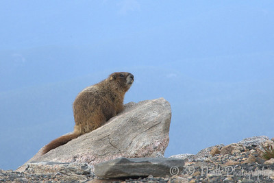I swear, this marmot is on this rock every time I go up Mt. Evans.