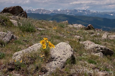Alpine Sunflowers aka Old Man of the Mountain