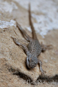 Lizard along the trail to Spruce Tree House cliff dwelling at Mesa Verde National Park