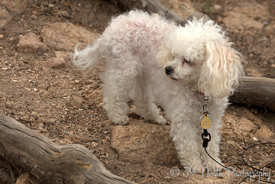 A mad poodle who hates to be on a leash