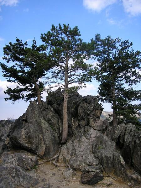Subalpine Tree