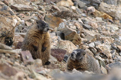 A pair of marmots near the summit of Trail Ridge road.