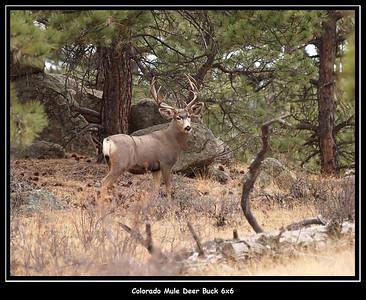 6x6 Mule Deer Buck.