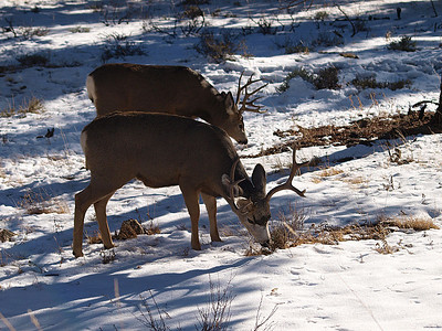 Mule deer bucks.  Front buck is 4x4 and back buck is 5x4.