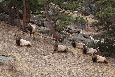 Six bull elk.  Notice the bull elk 3rd from the right has lost his horns for the season.