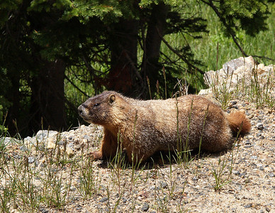 Marmots are members of the genus Marmota, in the rodent family Sciuridae (squirrels).