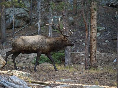Muddy Bull Elk