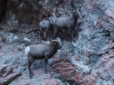 Bighorn sheep in the Big Thompson river canyon between Estes Park and Loveland, Colorado.