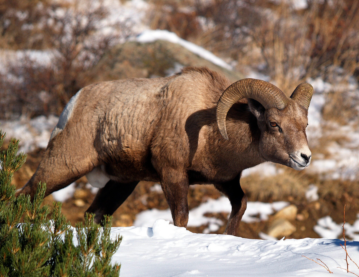 Bighorn Sheep Ram - on the prowl