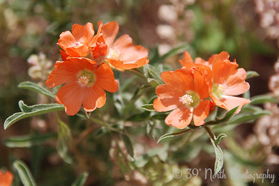 Copper Mallow