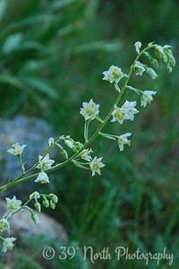 Mountain Death Camas