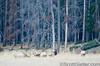 Bull elk testing each other by hitting horns