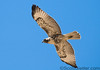 bird of prey, most likely a light-morph red-tailed hawk