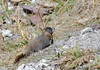 Marmot, taken from far away and heavily cropped. I hiked over for a closer view but the pair scurried further away.