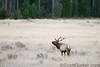 Lone Bull elk bugling