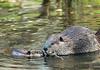 Big beaver and baby beaver