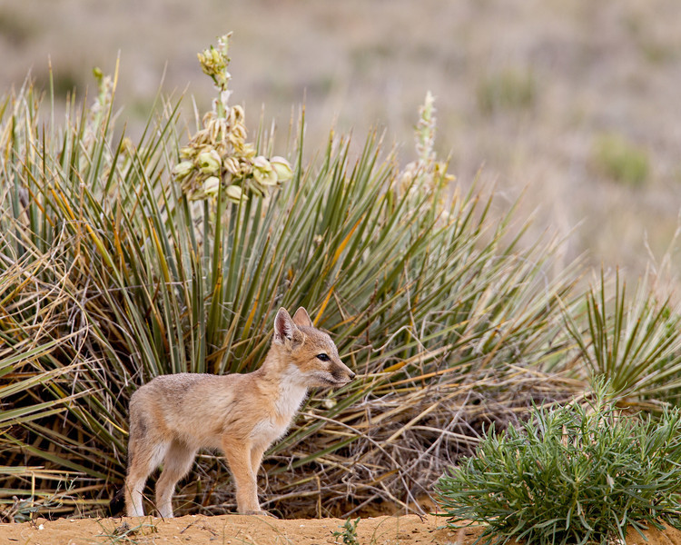 A swift fox (Vulpes velox) kit outside its den, with yucca (Yucca glauca) blooming in the background. Taken in the Pawnee National Grassland, Colorado, USA.