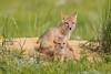 Swift fox (Vulpes velox) in the Pawnee National Grassland of Colorado, USA.
