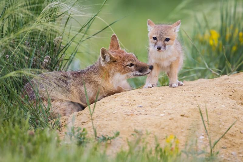 Swift fox (Vulpes velox) in the Pawnee National Grassland of Colorado.