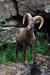 Bighorn Ram on the banks of the Green River - Lodore Canyon
