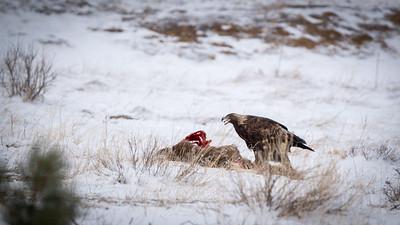 Golden eagle feeding on a deer carcass.