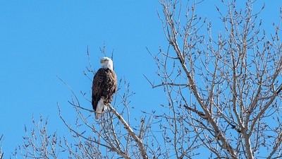 Bald eagle surveying his kingdom.