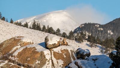 Two bighorn sheep near Castle Mountain.