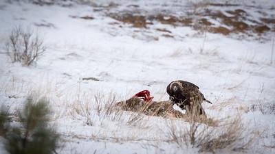 Golden eagle feeding on a deer carcass.  Watching me.